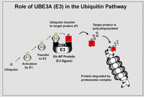 Ubiquitn_UBE3A_2008